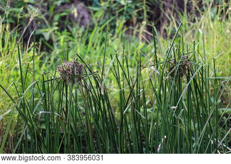 The Bird Nest From Dry Leaf On Lone Grass Near The Canal For Bird Rest At Nature In Thailand