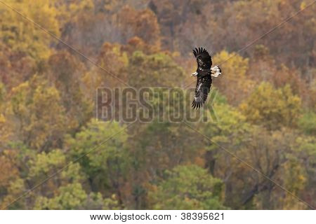 Bald Eagle Autumn Flight