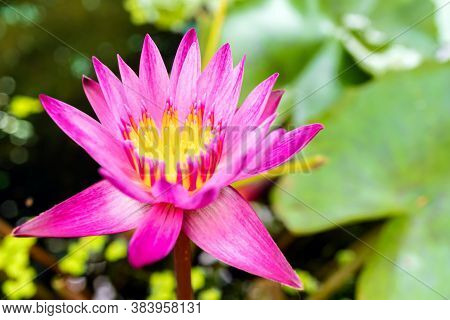 Lotus Flower In The Garden Pond With Blurred Background, Close Up Of Bright Lotus Flower, Pink Lotus