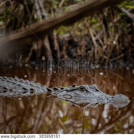 Crocodline Floats In Dark Tannin Water In Everglades