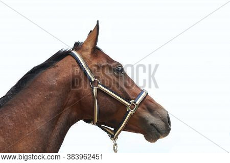 Thoroughbred Stallion Posing For Camera Against White Colored Background