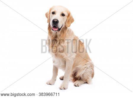 Golden retriever dog isolated on white background