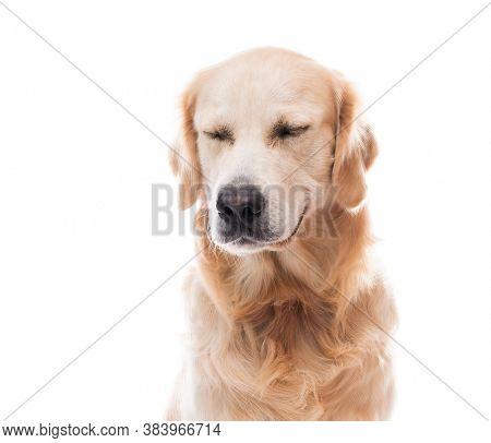 Golden retriever dog muzzle with closed eyes isolated on white background