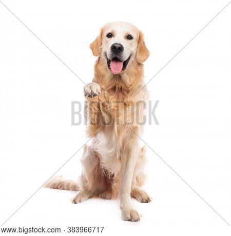 Golden retriever dog sitting straight giving paw