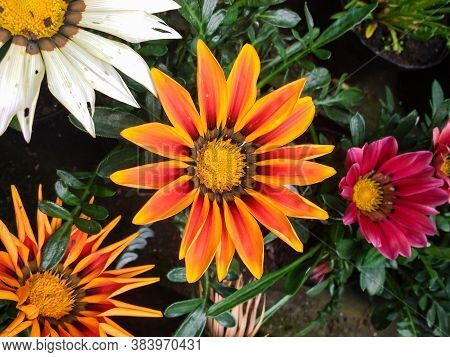 Gazania Rigens, Several Orange Flowers Blooming In A Garden Bed, With Other Colors In The Background