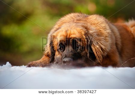 leonberger dog resting outdoors