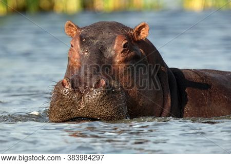 The Common Hippopotamus (hippopotamus Amphibius), Or Hippo Lying In The River.portrait Of A Large Hi