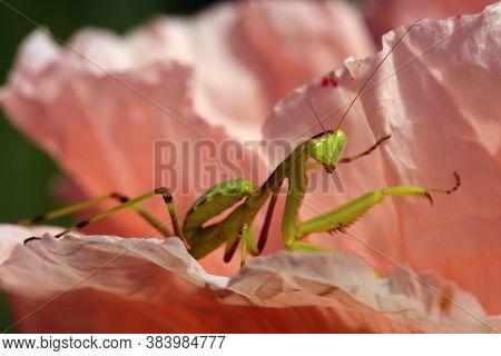 Mantis From Family Sphondromantis (spondromantis Viridis) Lurking On The Pink Flower. Leaf.sphodroma