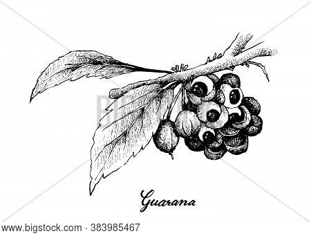 Vegetable, Illustration Of Hand Drawn Sketch Red Guarana Or Paullinia Cupana Fruits Isolated On Whit