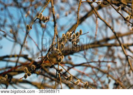 Buds Bloom On The Branches. The Onset Of Spring