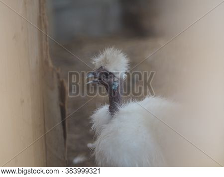 Chick Silkie Chicken Fur Is Similar To A Soft Silk Thread With A Furry Appearance, Animal