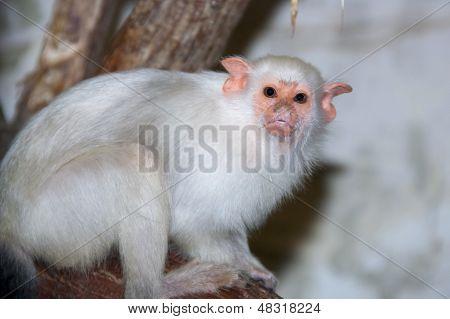 Silvery marmoset (Callithrix argentata or Mico argentatus) poster