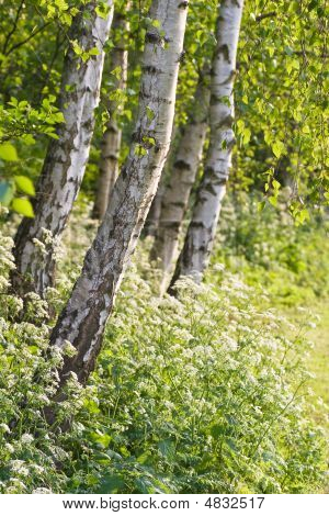 Birch Trees And Cow Parsley