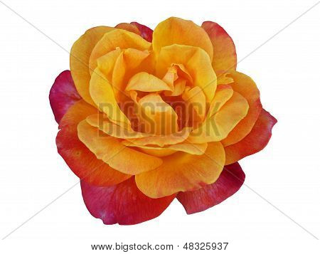 Closeup Of Beautiful Rose(rosa) Flower Isolated On White Background