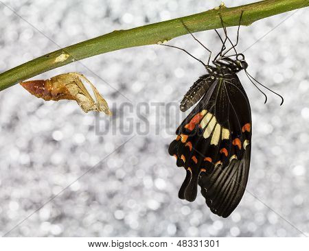Common Mormon Butterfy