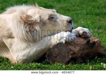 Timbavati White Lion