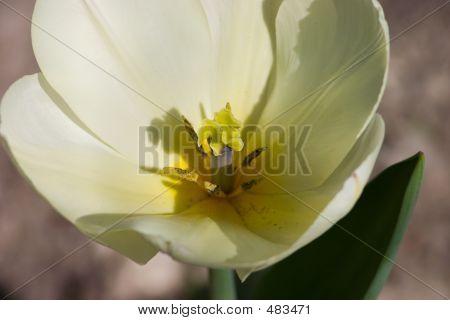 Pale Yellow Tulip