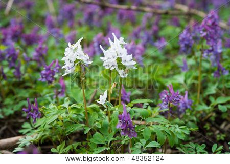 Purple flower of Hollowroot in the spring Corydalis cava