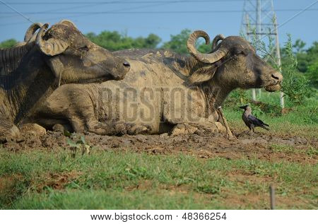 Buffaloes resting in the fields