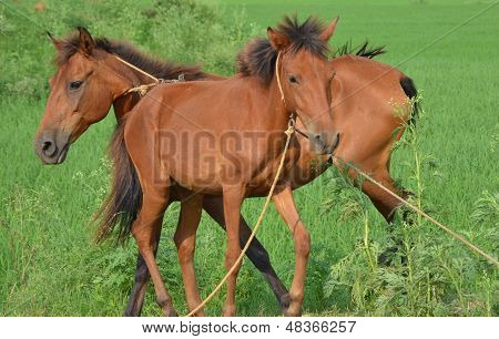 Playing chestnut horses