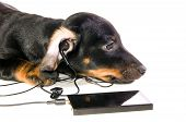 The black dog dachshund lays and listens to music through mp3 player closeup poster