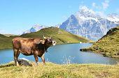 Cow in an Alpine meadow. Jungfrau region, Switzerland  poster