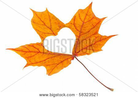 Yellow maple leaf with heart shape