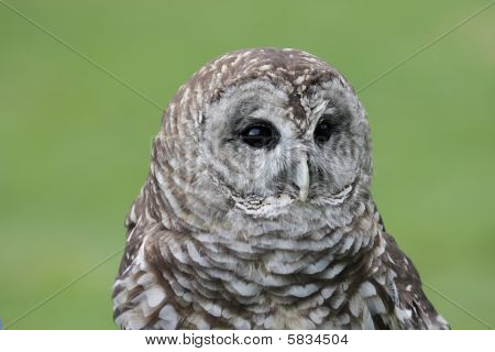Close-up of a Barred Owl (Strix varia) with a green background poster
