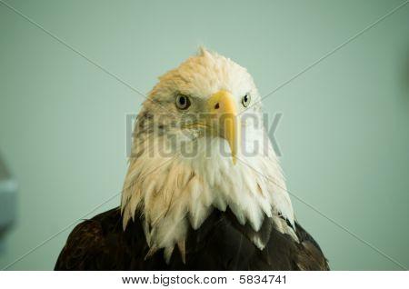 Bald Eagle H&s Front