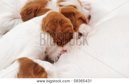 Small Puppies Sucking Milk From Bitch