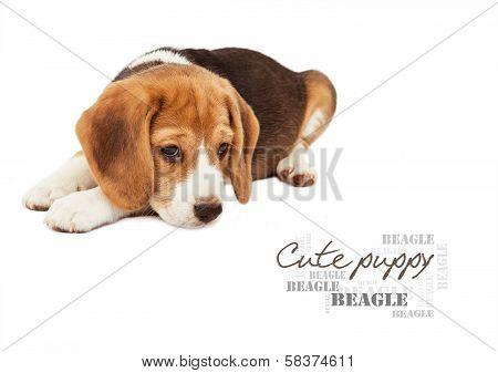 Sad Beagle Puppy On White