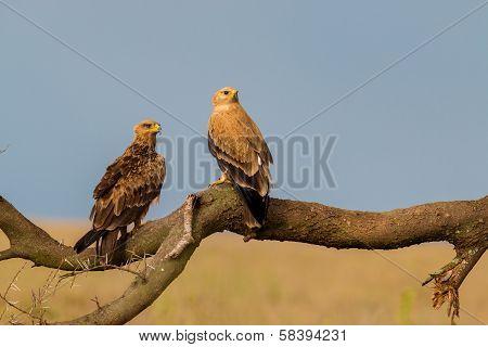 Tawny Eagles