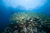School of tropical fish over a reef in the Gulf of poster