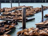Bird watches over seals at Pier 39 in San Francisco California poster