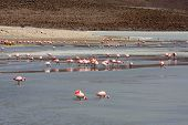 Flamingos on lake in the southern part of Bolivia, South America poster