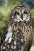 A short eared owl portraiture that is in captivity. poster