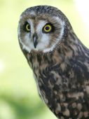 An image of a short eared owl held in captivity. poster