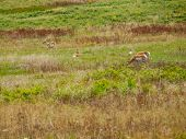 Antelope in a Field at the National Bison Range in Montana USA poster