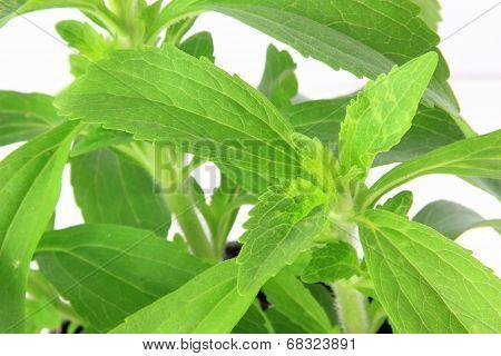 Sweetleaf (Stevia Rebaudiana)