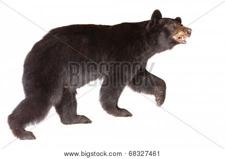 Taxidermy of a North American Black bear isolated on white