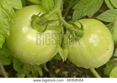 Unripened Tomatoes