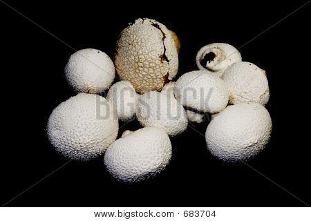 Texture rich puff ball mushrooms over black poster