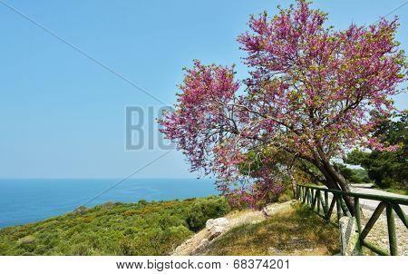 Judas tree against the sea in the Dilek national park, Turkey