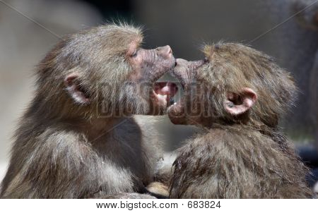 Kissing Monkeys