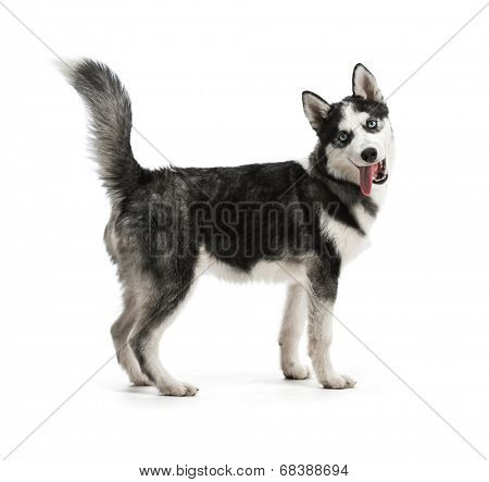 Adorable black and white with blue eyes Husky puppy. Studio shot. Isolated on white background.