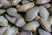 Closeup fresh raw Surf clam backgroundSurf clam Short necked clam Carpet clam Venus shell Baby clam Paphia undulata Veneridae. poster