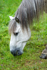 Portrait Of A White Horse Eating The Grass