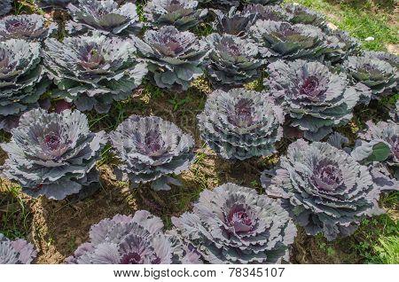 Purple Longlived Cabbag