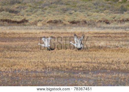 Sandhill cranes flying at Bosque del Apache National Wildlife Refuge in San Antonio New Mexico