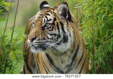 Sumatran tiger through the bamboo